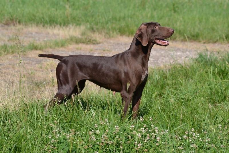 gina du rio parana chien de race toutes races en tous departements france inscrit sur chiens de. Black Bedroom Furniture Sets. Home Design Ideas