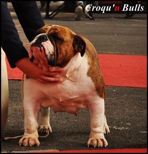 Les Bulldog Anglais de l'affixe des Croqu'n Bulls
