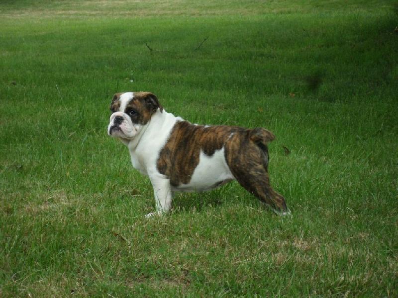 Bulldog Anglais - Joyce by archots Dog'art So British