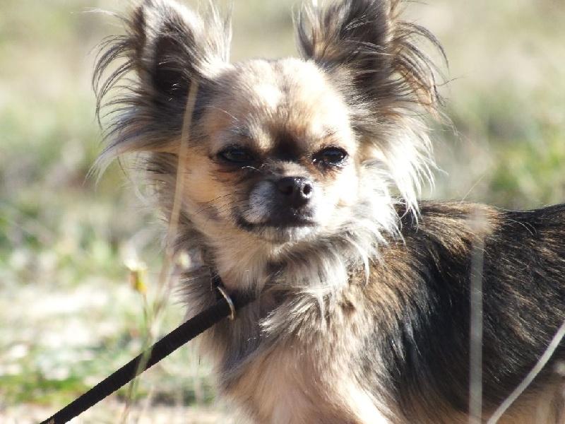 Les Chihuahua de l'affixe Des P'tits Bouts D'amour