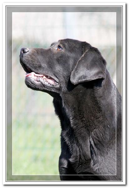 Labrador Retriever - Facebook des Vergers de Taly