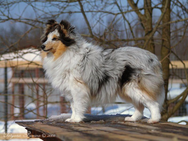 Shetland Sheepdog - art felicity Feeria