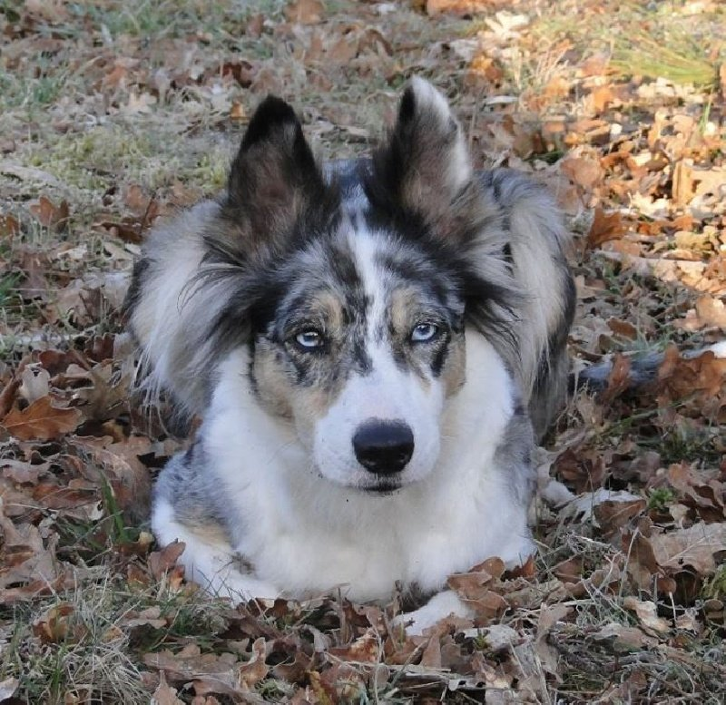 Pin Chiots Borders Collies on Pinterest