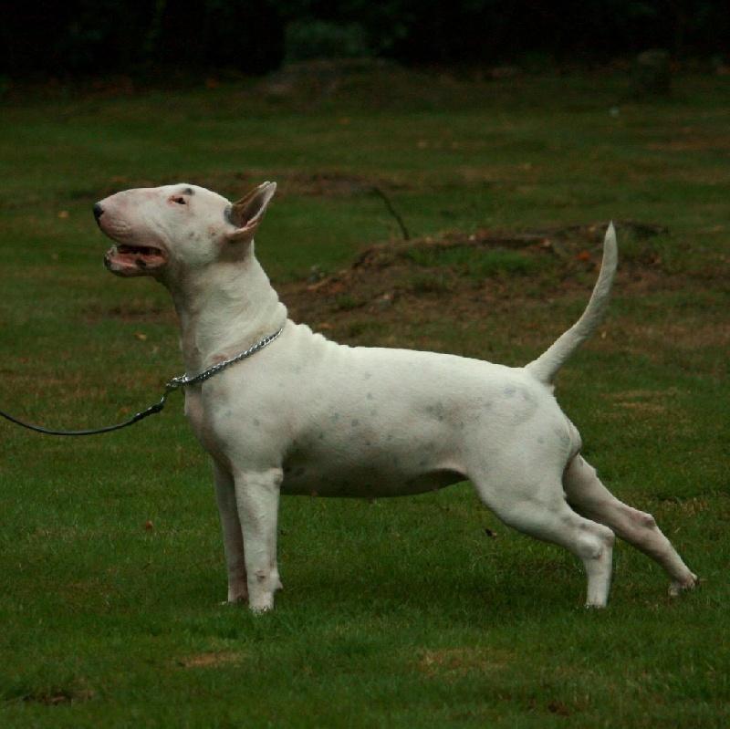 Les Bull Terrier de l'affixe de la Galaxie Ezaï