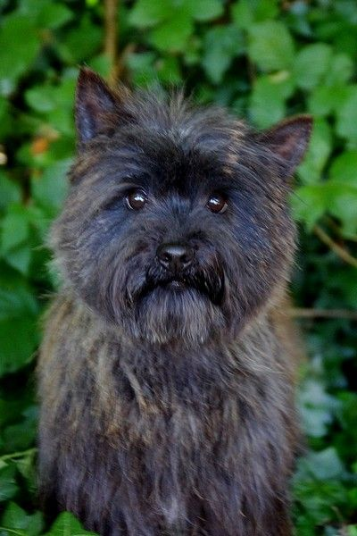 Cairn Terrier - Email Tara cottage