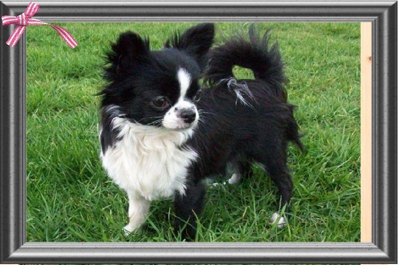 Les Chihuahua de l'affixe Du Domaine De Jalisco