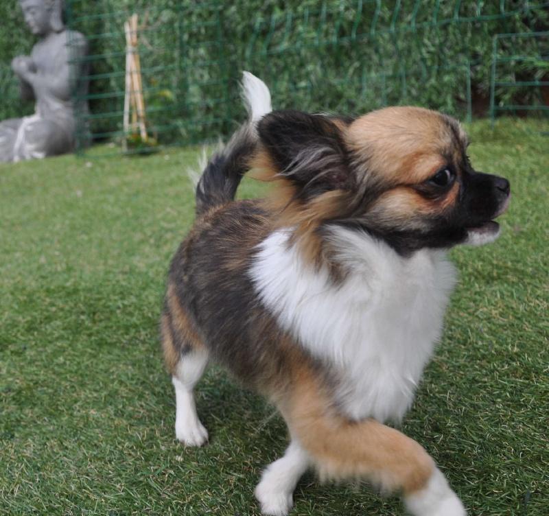Les Chihuahua de l'affixe de Ling Dechen