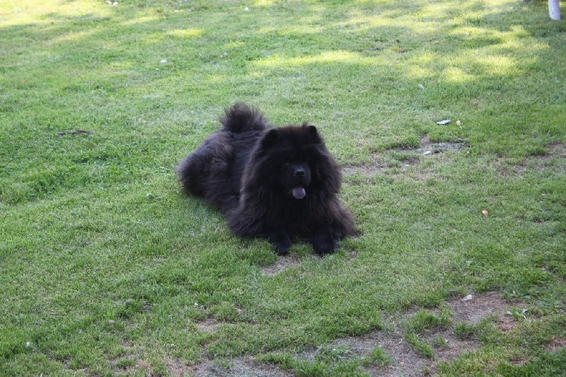 Chow Chow - Guess