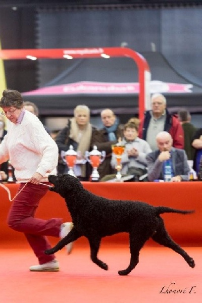 Le Standard de la race Curly Coated Retriever sur Atara.com