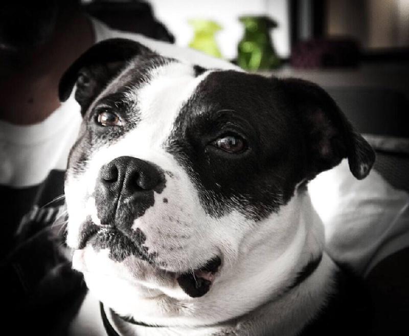 Les Staffordshire Bull Terrier de l'affixe de Fambuena Didaho