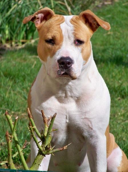 Les American Staffordshire Terrier de l'affixe du Angels Of Paradise