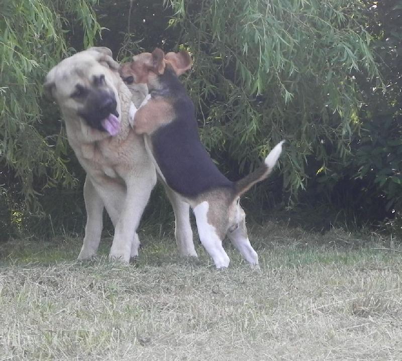 Les Beagle de l'affixe Des quatre jeudis