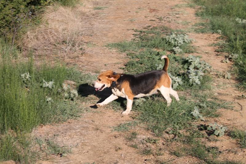 Beagle - Djorka du Rallie Sainte Baume