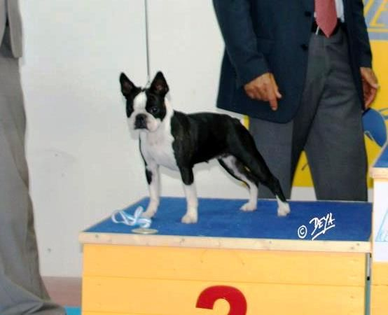 Les Boston Terrier de l'affixe Du Rocher Des Ducs