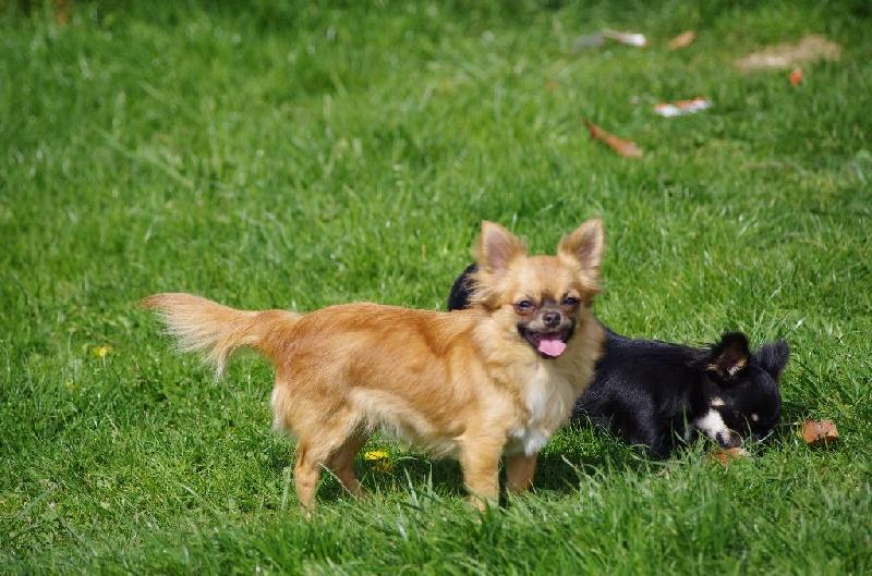 Les Chihuahua de l'affixe a l'ouest des prés de l'abby