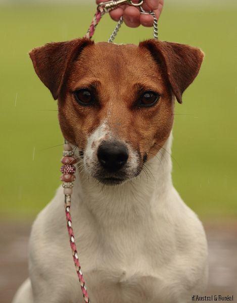Les Jack Russell Terrier de l'affixe D'Austral Et Boréal