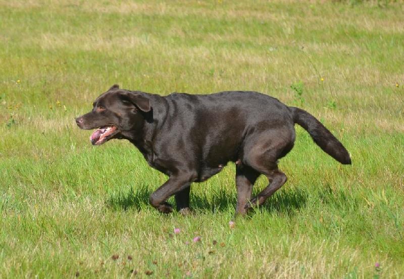 Les Labrador Retriever de l'affixe D' Ombrelune