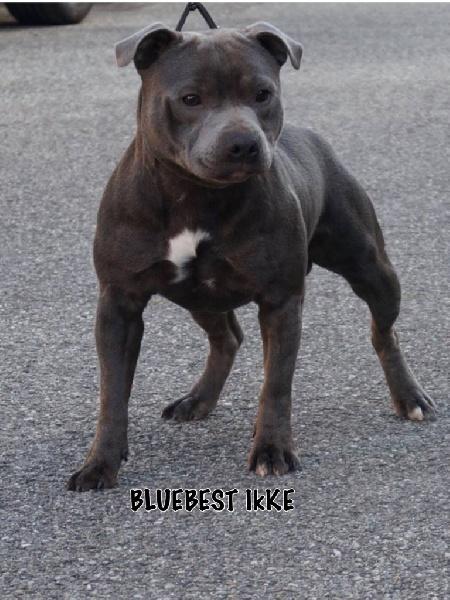 Les Staffordshire Bull Terrier de l'affixe Blue Best