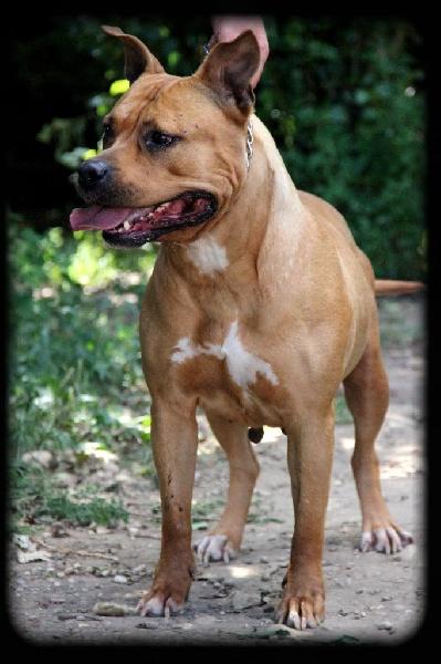 Les American Staffordshire Terrier de l'affixe de la Garde Divine