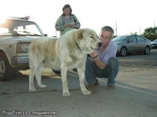 CH. Pushtun (Sans Affixe) chien de race toutes races en