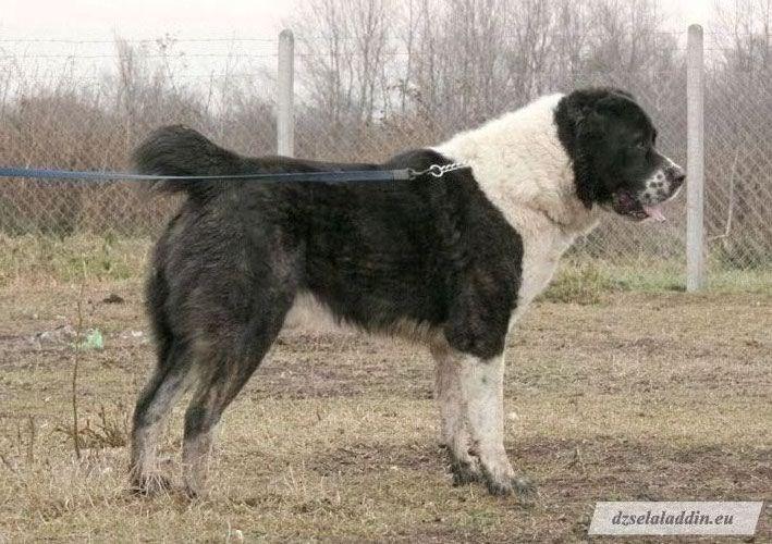 Jumid zolotoy volkodav chien de race toutes races en tous