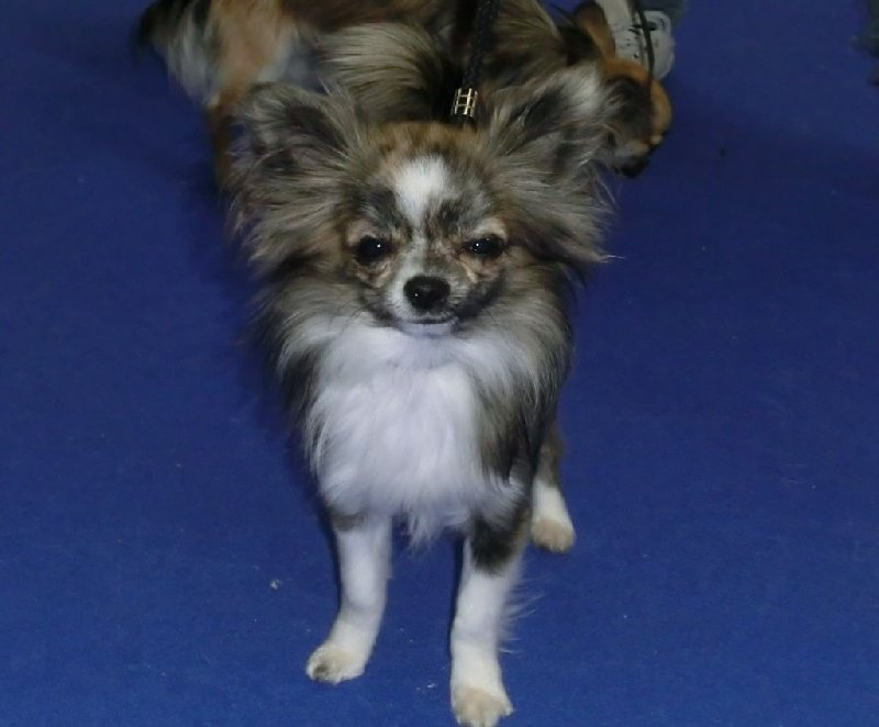 Chihuahua - H'tirex des Petits Mots Doux