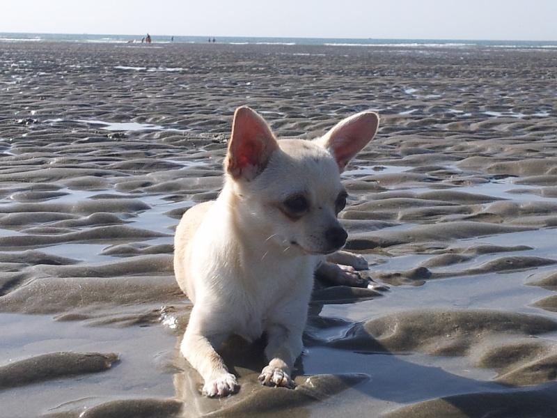 Les Chihuahua de l'affixe De La Source Blanche