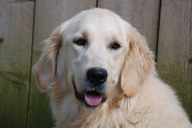 Golden Retriever - Graine de star Du domaine de florange