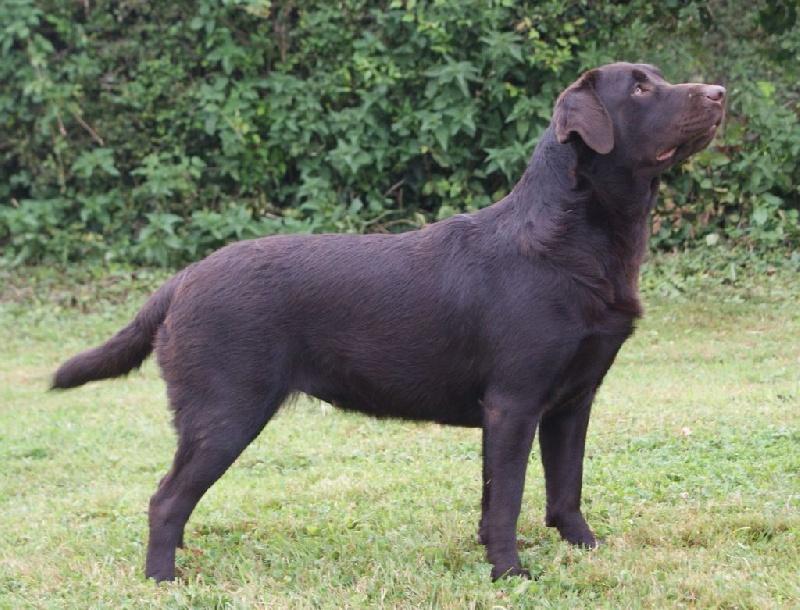 Les Labrador Retriever de l'affixe Des Adrilines d'Opale