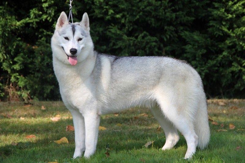 Les Siberian Husky de l'affixe Lupus Dei