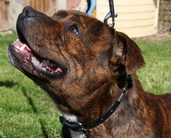 Les Staffordshire Bull Terrier de l'affixe Aurely's Dogs