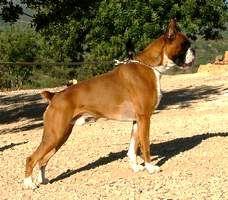 Boxer - Karnivale de la finca sapho