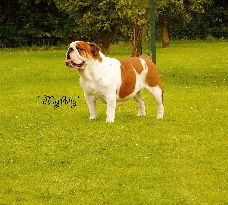 Les Bulldog Anglais de l'affixe Myally Bulldog