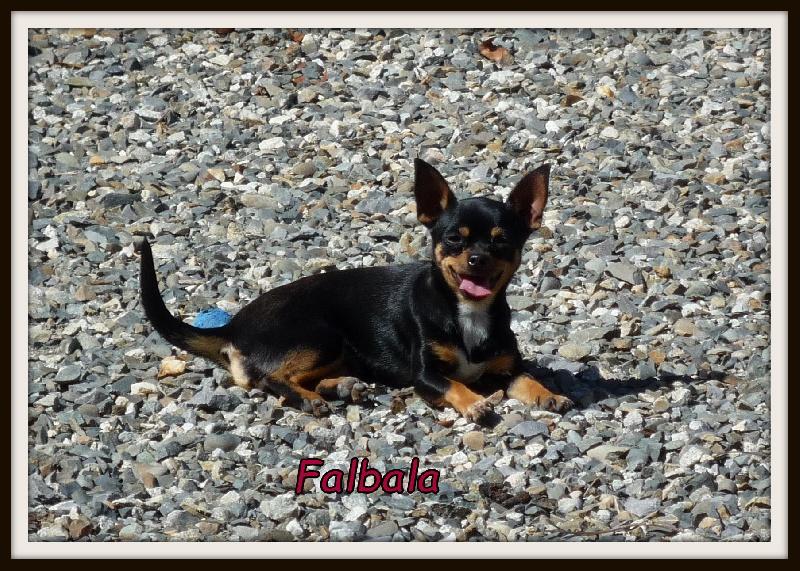Chihuahua - Falbala Du Paradis Des Icones