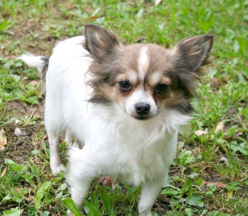 Chihuahua - Hemeline Du domaine de la furka