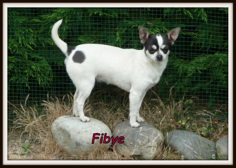 Chihuahua - Fibye Du Paradis Des Icones