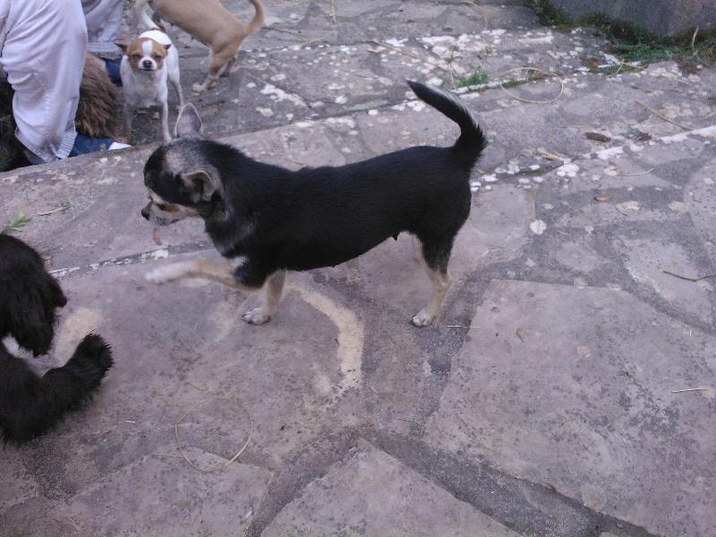 Le Standard de la race Chihuahua sur Atara.com