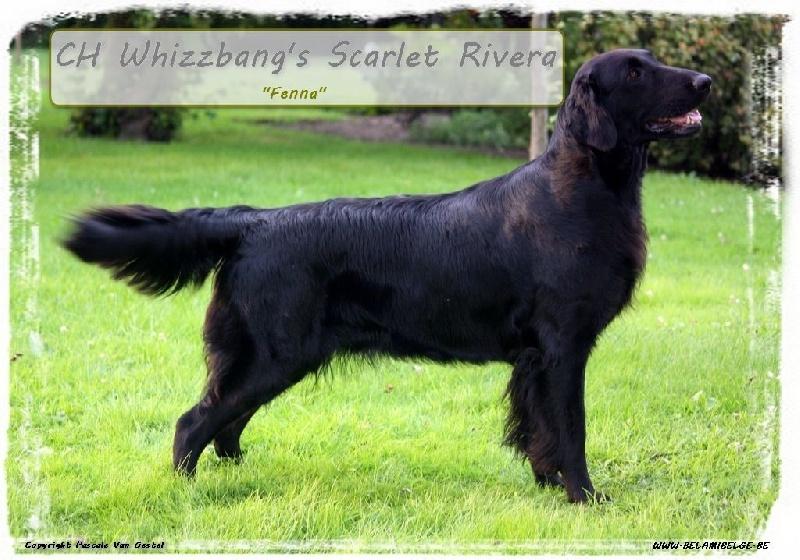 Chiot - Elevage Bel Ami Belge - eleveur de chiens Flat