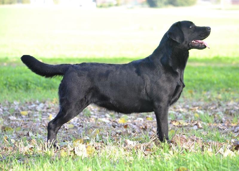Les Labrador Retriever de l'affixe of Best Diamond