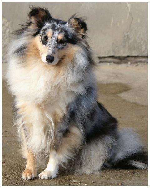 Les Shetland Sheepdog de l'affixe Roseline Darcourt