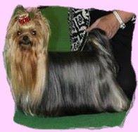 Yorkshire Terrier - CH. Galactica diamond girl des Bruyères de Line