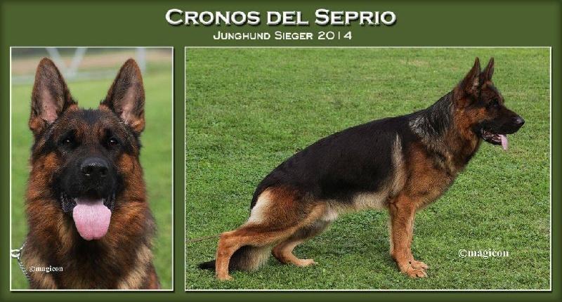 Berger allemand - CH. Cronos del seprio