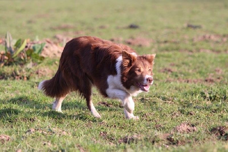 Border Collie - Fiby