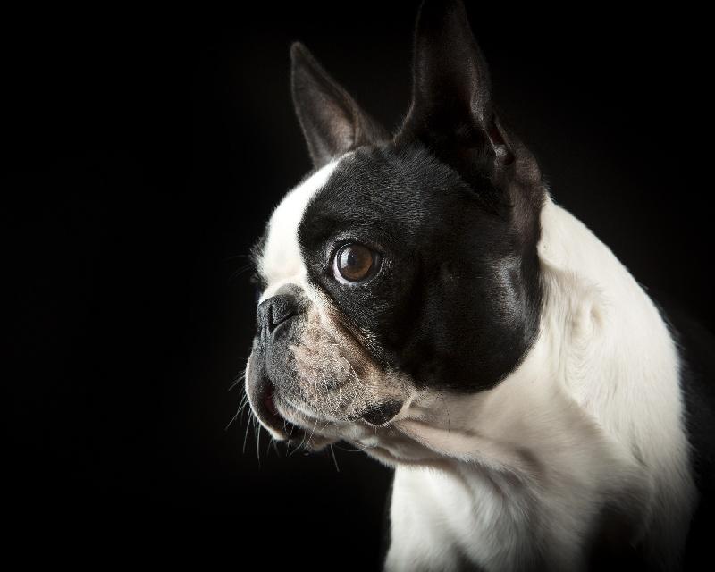 Les Boston Terrier de l'affixe Du clos de larpege