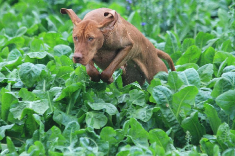 Ch tr houps du hameau de bellacourt chien de race toutes races en tous departements france - Braque hongrois a poil court ...