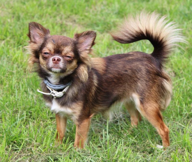 Les Chihuahua de l'affixe De La Cité Des Conquistadores