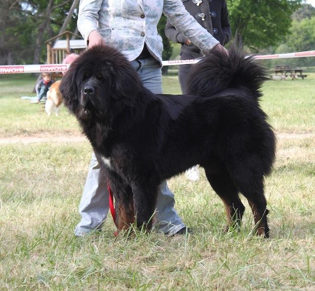 Le Standard de la race Dogue du Tibet sur Atara.com
