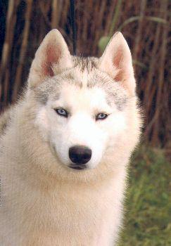 Les Siberian Husky de l'affixe Ar Primitif Ki Breizh