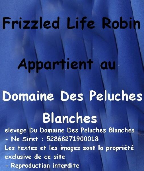 Bichon frise - CH. frizzled life Robin