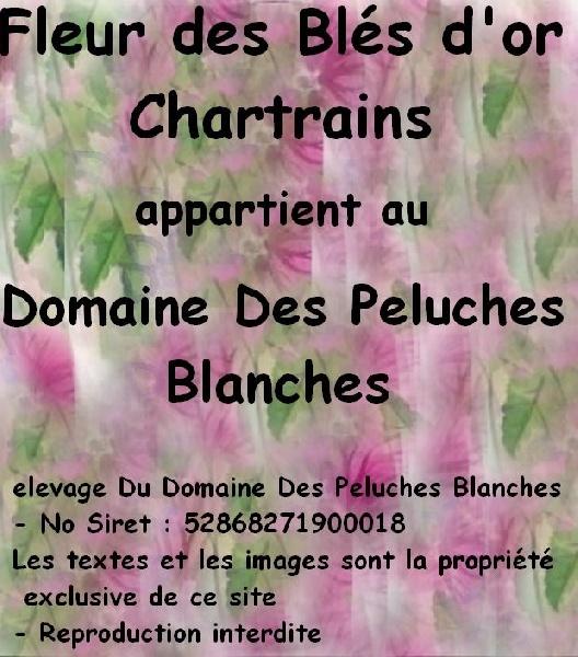 Les Bichon frise de l'affixe Du Domaine Des Peluches Blanches